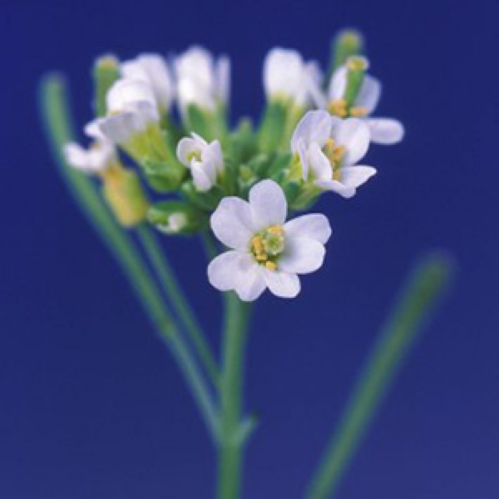 photo of Arabidopsis plant and flowers